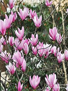 thompson-morgan-magnolia-heaven-scent-1-x-35-litre-pot