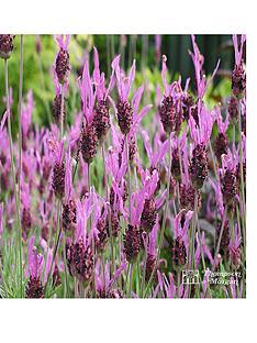 thompson-morgan-lavandula-papillon-35-litre-pot-x-1