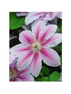 thompson-morgan-clematis-nelly-moser-3-litre-pot-x-1--free-gift-with-purchase