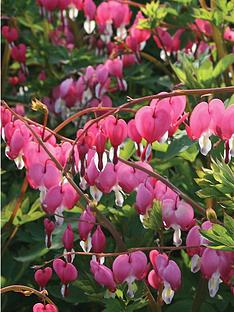 thompson-morgan-dicentra-spectablis-large-plant--free-gift-with-purchase