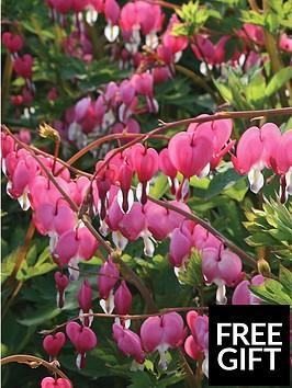 thompson-morgan-dicentra-spectablis-large-plant