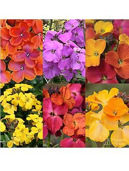 thompson-morgan-erysimum-collection-6-plants
