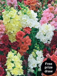 thompson-morgan-antirrhinum-madame-butterfly-30-garden-ready-plants