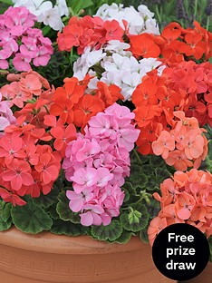 thompson-morgan-geranium-f1-jackpot-mixed-30-garden-ready-plants