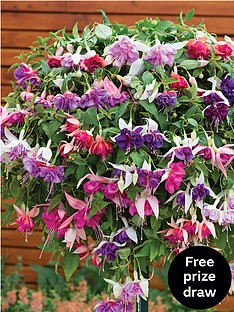 thompson-morgan-fuchsia-trailing-garden-ready-hanging-basket-with-5-plants