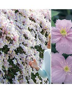 thompson-morgan-clematis-montana-mayleen-fragrant-3--free-gift-with-purchase