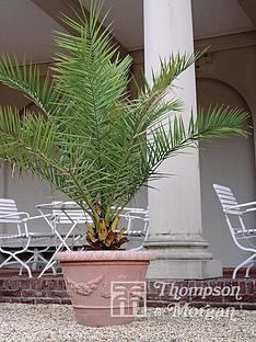 thompson-morgan-phoenix-palm-3-litre-pot-x-2