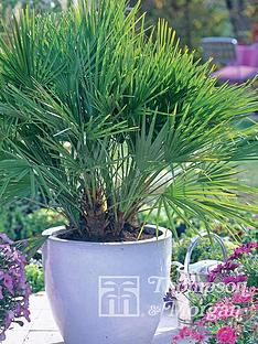 thompson-morgan-chamaerop-humilis-dwarf-fan-palm-3-litre-pot-x-2--free-gift-with-purchase