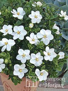 thompson-morgan-gardenia-kleims-hardy-9-cm-pot-x-1--free-gift-with-purchase