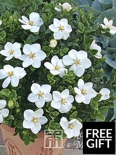 thompson-morgan-gardenia-kleims-hardy-9cm-pot