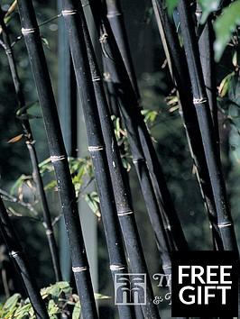 thompson-morgan-phyllostachys-nigra-black-bamboo-9-cm-pot-x-2