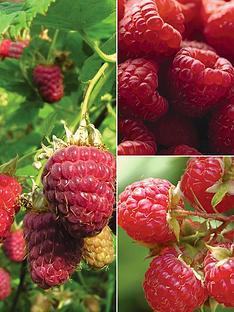 thompson-morgan-raspberry-full-season-collection-9-canes-3-each-of-glen-ample-glen-moy-joan-j