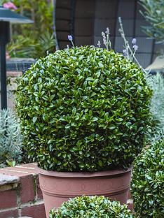 thompson-morgan-buxus-ball-diameter-50-cm-37-cm-pot-x-2-free-gift-with-puchase