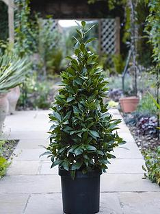 thompson-morgan-laurus-nobilis-standard-pyramid-110-cm-tall-25-cm-pot-x2-free-gift-with-purchase