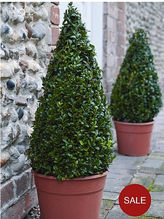 thompson-morgan-buxus-pyramid-55-60-cm-26-cm-pot-x-2