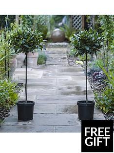 thompson-morgan-laurus-nobilis-standard-bay-tree-2-x-20cm-pots
