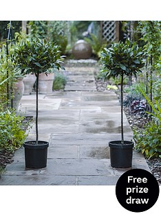 thompson-morgan-laurus-nobilis-standard-bay-tree-x-2-20-cm-pot
