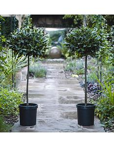thompson-morgan-laurus-nobilis-bay-tree-80-cm-clear-stem-40-45-cm-head-25-cm-pot-x-2