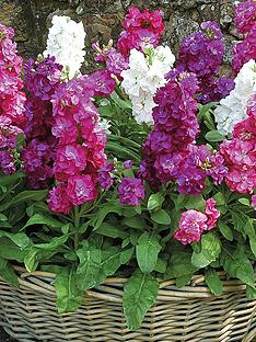 thompson-morgan-stocks-autumn-perfume-mixed-30-garden-ready-plants
