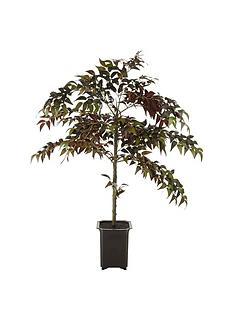 fiscus-tree-in-pot