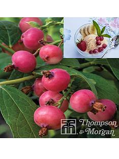 thompson-morgan-pinkberry-1-x-9-cm-potted-plant