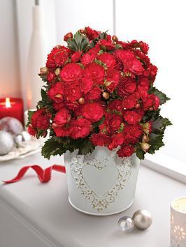 thompson-morgan-begonia-grace-christmas-plant-in-decorative-zinc-pot