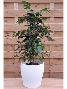 thompson-morgan-ficus-benjamina-danielle-large-house-plant