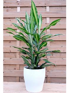 thompson-morgan-dracaena-cintho-large-house-plant