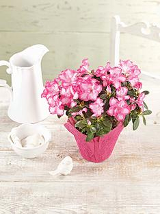 thompson-morgan-azalea-pink-and-white-house-plant-with-hessian-wrap