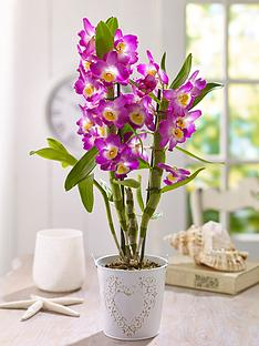 thompson-morgan-orchid-scented-star-class-house-plant-in-pot--free-gift-with-purchase