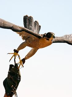 virgin-experience-days-extended-falconry-experience