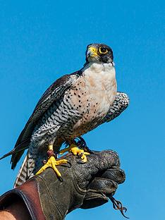 virgin-experience-days-falconry-taster-in-a-choice-of-6-locations
