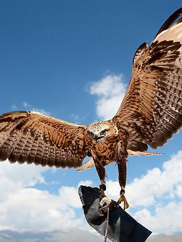 virgin-experience-days-falconry-taster-for-two