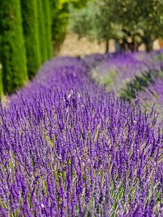 thompson-morgan-lavandula-lavender-hidcotenbsp--1-x-2-litre-pot