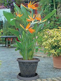 thompson-morgan-bird-of-paradise-2-xnbsp13cm-pots