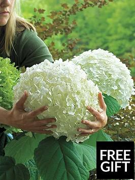 thompson-morgan-hydrangea-giant-incrediball-2-x-14cm-pots