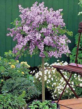 thompson-morgan-lilac-dwarf-standard-2-litre-pot