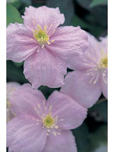 thompson-morgan-clematis-montana-mayleen-7cm-pot-x-3