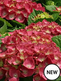 thompson-morgan-hydrangea-macrophylla-glowing-embers-35-litre-pot