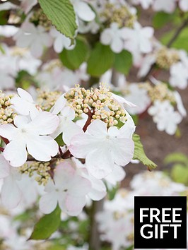 thompson-morgan-viburnum-kilimanjaro-sunrise-plants-2-x-9cmnbsppots