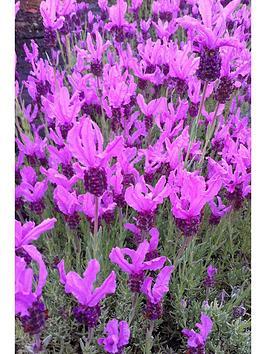thompson-morgan-lavender-the-princess-3-xnbsp8cm-pots