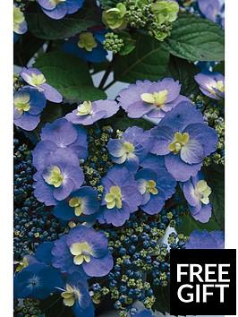 thompson-morgan-hydrangea-blueberry-cheesecake-2-litre-pot