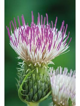 thompson-morgan-cirsium-pink-blush-9cm-pot-x-2