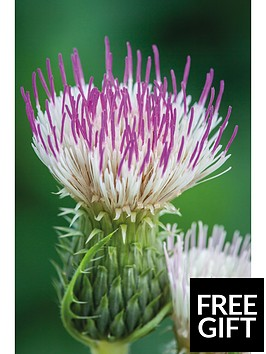thompson-morgan-cirsium-pink-blush-9cm-pot-x-2
