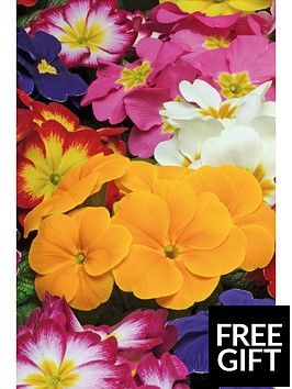 thompson-morgan-primrose-autumn-colours-mixed-30-garden-ready-plants