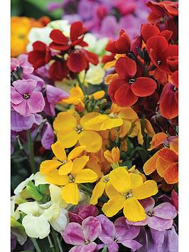 thompson-morgan-erysimum-wallflower-sugar-rush--nbsp33cm-preplanted-pot