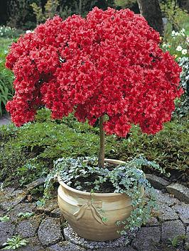 thompson-morgan-azalea-standard-japanese-red-x-1