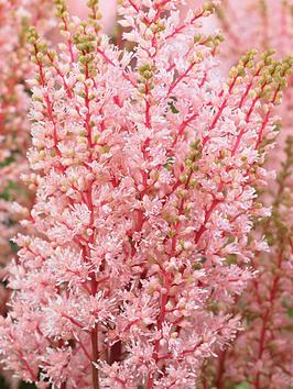 thompson-morgan-astilbe-look-at-me-6-bare-root-plants