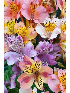 thompson-morgan-alstroemeria-planet-collection-10-bare-root-plants