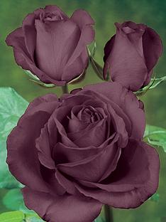 thompson-morgan-rose-black-baccara-x-1-bare-root-rose